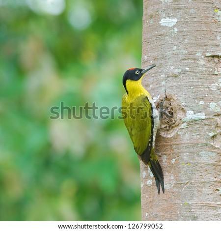 A male Black headed Woodpecker (Picus erythropygius) - stock photo