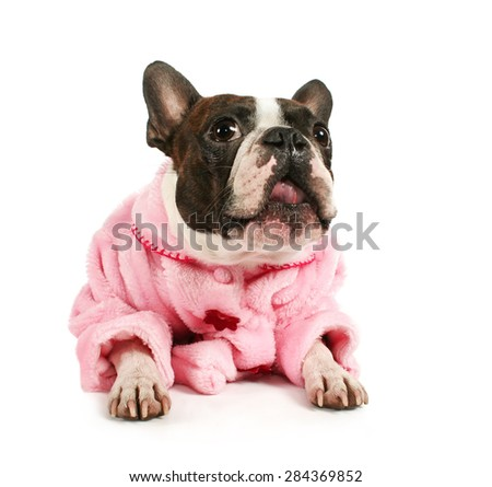a male boston terrier dressed in a pink coat isolated on a white background, studio shot - stock photo