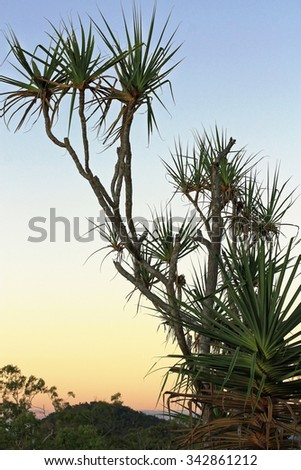 A pandanus tree in the evening sunset - stock photo