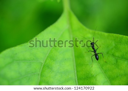 a small mantis rest in a leaf