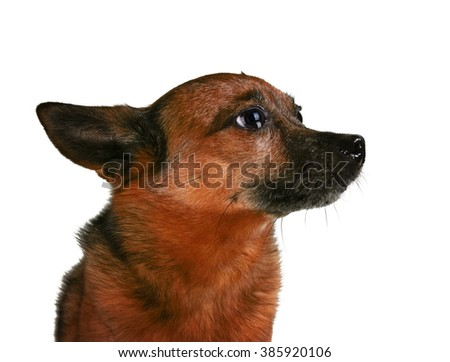 a small senior dog pouting or begging isolated on a white background  - stock photo