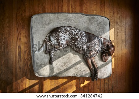 A tired dog sleeping on a big pillow - stock photo