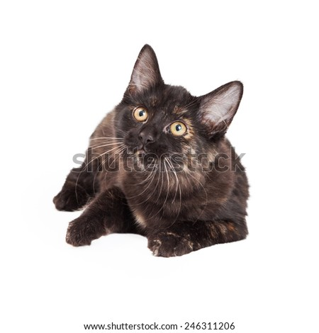 A very curious Black and Tan Domestic Longhair four month old kitten laying while looking up.  - stock photo