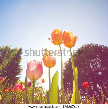 a wide angle shot of pretty tulips (shallow depth of field) with a soft vintage filter effect  - stock photo