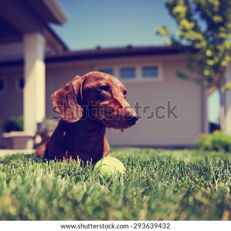 a wiener dog dachshund dog playing with a tennis ball (SHALLOW DOF on the ball) toned with a retro vintage instagram filter app or action effect - stock photo