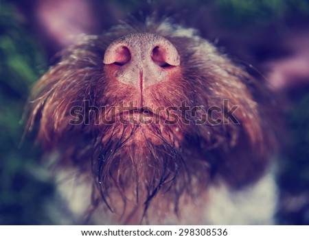 A wire haired griffon terrier pointer in A Natural Outdoor Setting- shallow dof toned with a retro vintage instagram filter app or action effect - stock photo