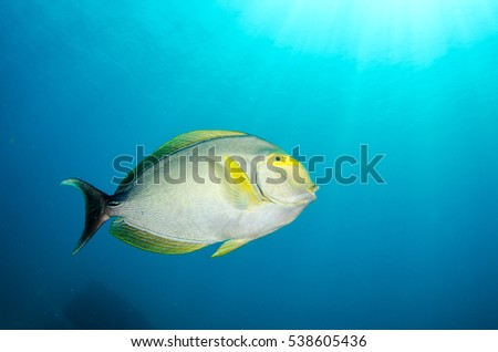 (Acanthurus xanthopterus) Yellowfin or purple Surgeonfish  in a shipwreck. reefs of the Sea of Cortez, Pacific ocean. Cabo Pulmo, Baja California Sur, Mexico. The world's aquarium.
