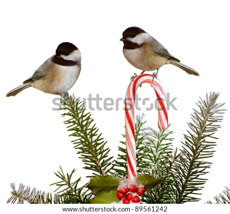 Adorable Black- capped Chickadee twins (Poecile atricapillus) at a festive candy cane and spruce bough. - stock photo