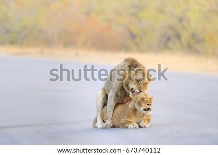African Lions (Panthera leo) mating