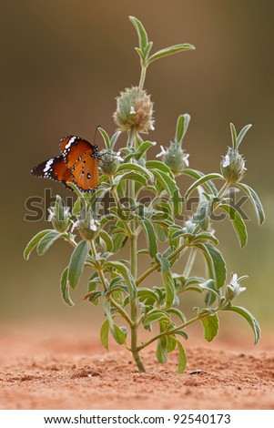 african monarch butterfly on milkweed plant - stock photo