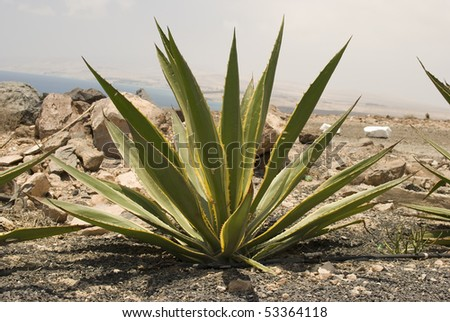 Agave on the ground. Fuerteventura. Spain.