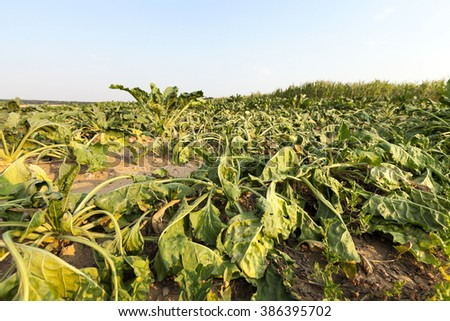Agricultural field on which grow beet in drought, sluggish beet, close-up - stock photo