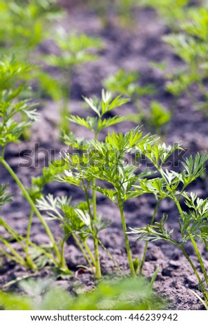 Agricultural field on which grow green young carrots. small depth of field