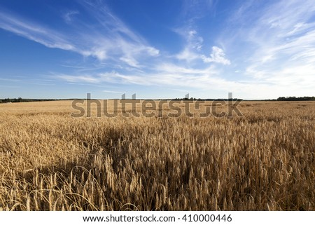 Agricultural field on which grow ripe rye.