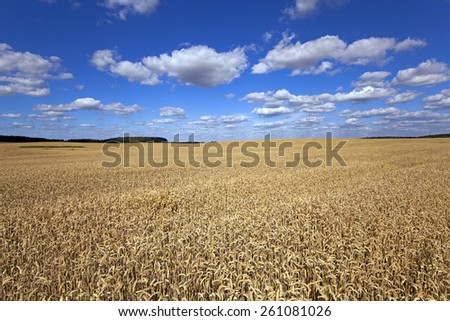 Agricultural field on which grow ripe wheat. - stock photo