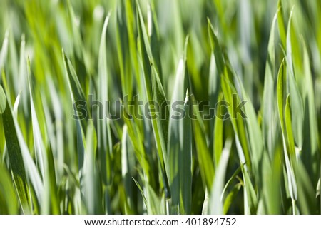 Agricultural field on which grow unripe green grass in spring season - stock photo