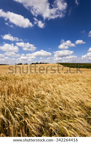 Agricultural field on which grow up ready to harvest ripe yellow cereals - stock photo