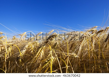Agricultural field on which grow up ripe and yellowed cereals wheat, Belarus,   small depth of field