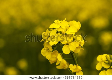 agricultural field on which it grows rapeseed blooming yellow flowers. Spring - stock photo