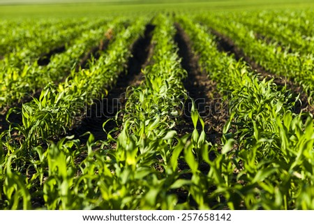 agricultural field on which there were young sprouts of corn - stock photo