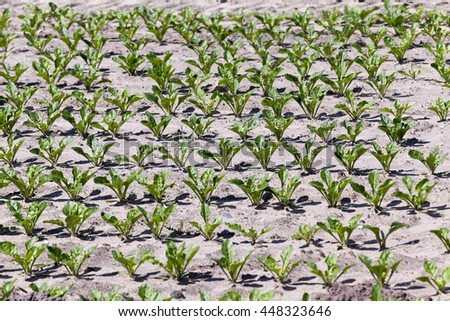 agricultural field on which to grow crops - beets. Spring. sprout - stock photo