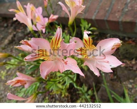 Alstroemeriaceae | plant family | Britannica.com