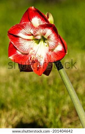 Amaryllis belladona (Hipperastrum) in the garden - stock photo