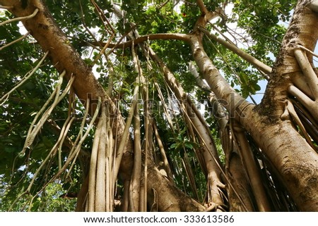 Amazing Banyan Tree - stock photo