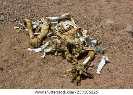 ��¡amel bones in the desert - stock photo