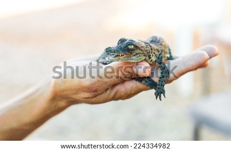 American alligator lying on a human hand