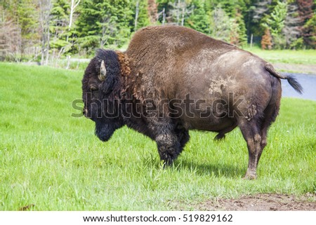 American bisons (Bison bison) in the prairie