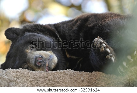 american black bear adult male laying down, santa clarita mountains, california. similar grizzly or brown bear huge hairy predator carnivore yogi usa - stock photo