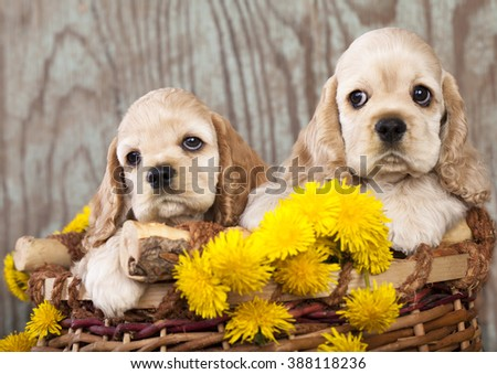 american cocker spaniel puppies and dandelions - stock photo