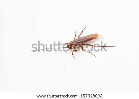 American cockroach - Periplaneta Americana isolated on white background. - stock photo