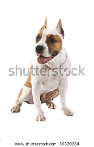 American Staffordshire terrier puppy (4 months) in front of a white background - stock photo