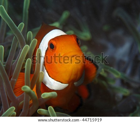 (Amphiprion ocellaris) false clown fish. Inhabits coral reefs in protected waters, associated with large sea anemones, distinguished by 3 white bars on head and body and black submarginal bands.