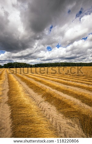 an agricultural field on which cleaned and piled the ripened flax - stock photo