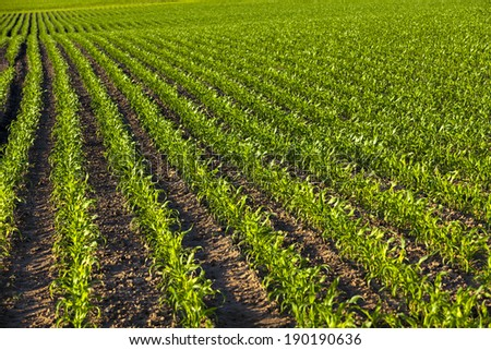an agricultural field on which grow up corn