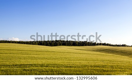 an agricultural field on which wheat sprouts grew - stock photo