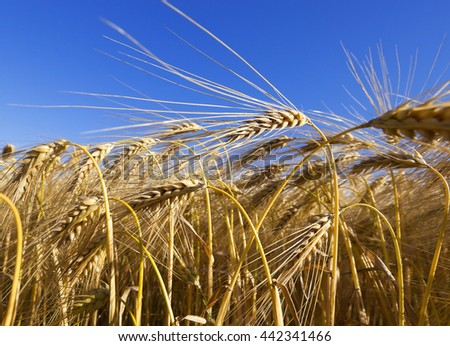 an agricultural field with yellowed ripe cereal in the summer
