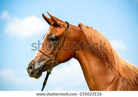 an extreme close up of a stunning arab horse portrait from a side angle