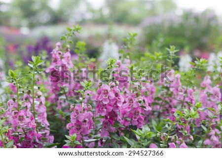 angelonia flowers The flowers of remembrance in thailand, with the former just want to keep and difficult to leave. - stock photo
