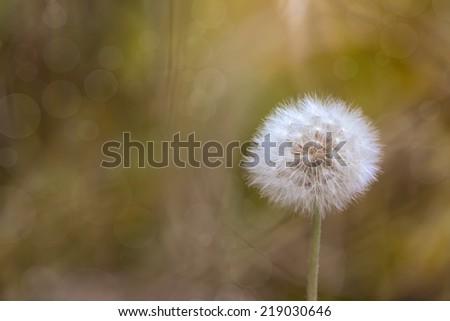 art background dandelion in autumn grass  - stock photo