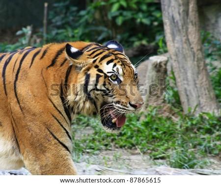 Asia tiger - stock photo