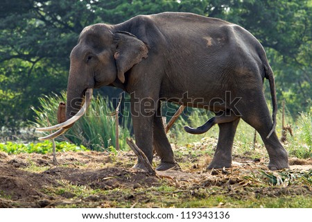 Asian elephant in musth with urine dripping and temporal gland oozing. - stock photo