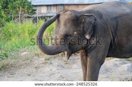 Asian elephant standing in the garden - stock photo