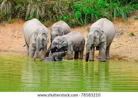 Asian elephants bathing  in the tropical forest - stock photo