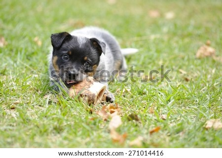 Australian Cattle Dog  PUPPY 5 weeks old. eating a bone - stock photo