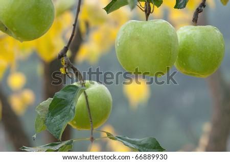 autumn apples on the tree - stock photo