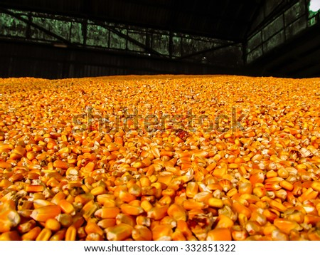 Autumn harvest of grains of corn in the hangar on the agricultural farm, Selective focus, Shallow DOF - stock photo